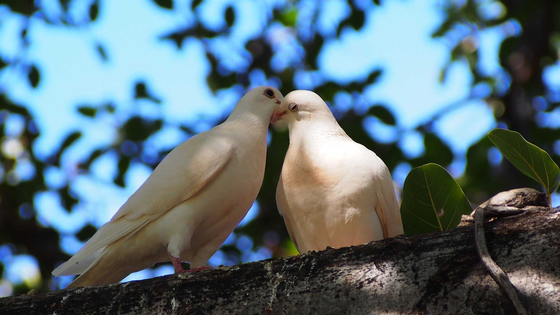 Two of our white doves sitting on a tree branch.