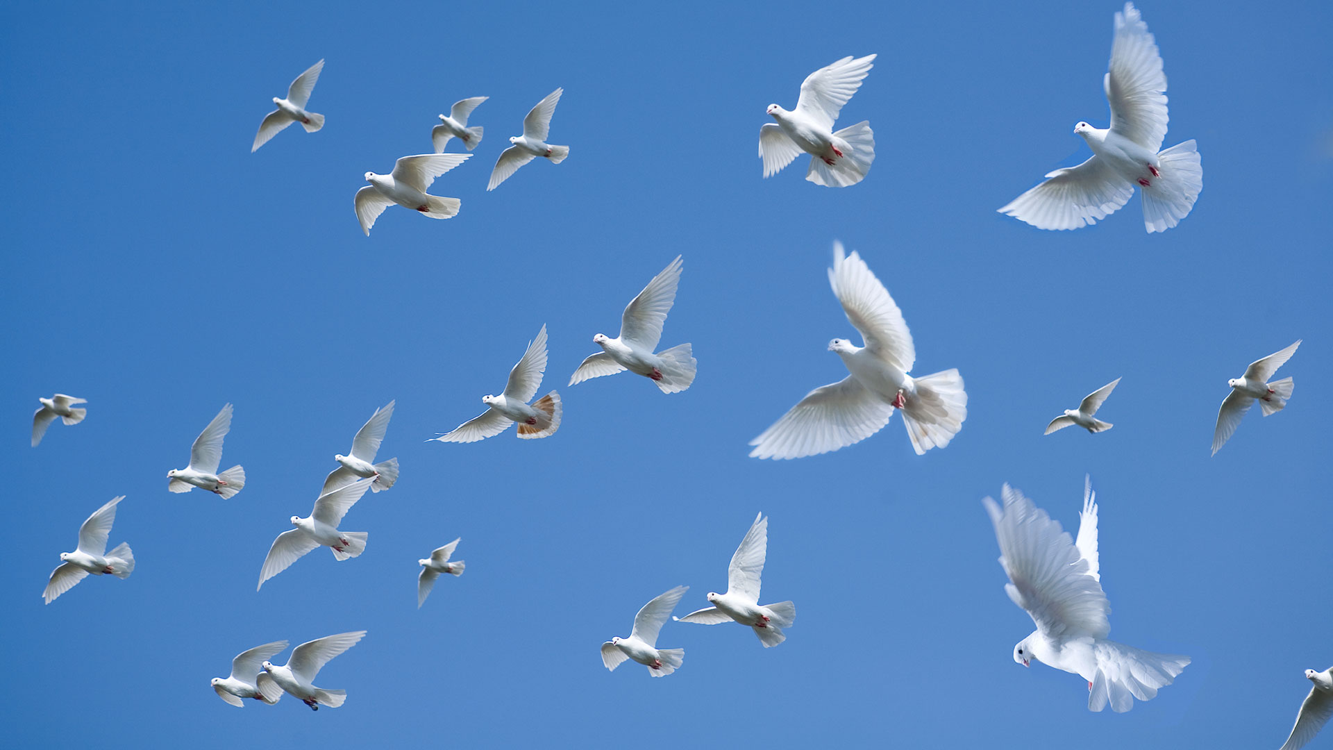 Flock our our white doves flying through the sky.