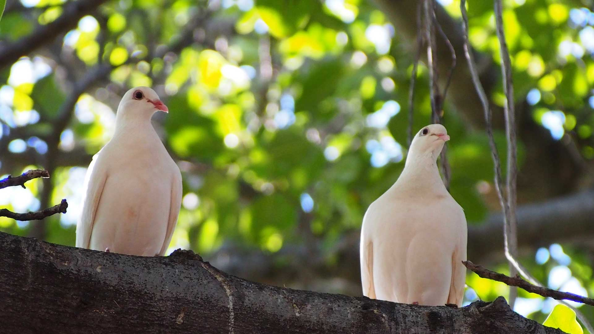 Two white doves sitting in a tree.